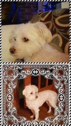 Maltese dog for Adoption in Springville, NY. ADN-420564 on PuppyFinder.com Gender: Female. Age: Senior