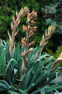 Advice and some really rather good pictures of Beschorneria yuccoides. Tropical Landscaping, Tropical Garden, Backyard Landscaping, Mediterranean Plants, Flower Identification, Old Trees, Agaves, Garden Pictures, Garden Structures