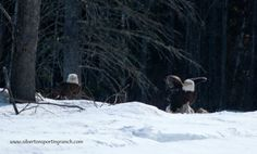 Eagles in Maine. #silvertonsportingranch #kennebecvalley #mainewildlife #baldeagles
