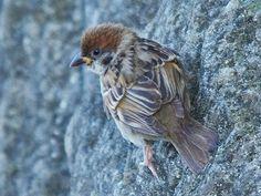 150824sスズメ石垣,Sparrow,wild bird