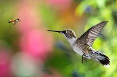 Scientists say it will be easier to understand hummingbirds in some cases if we use insights gained from the study of bees.