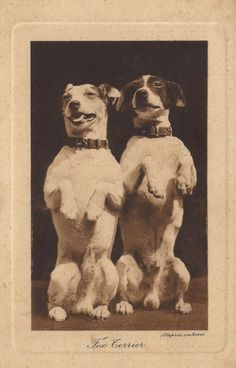 Edwardian Dogs Original Antique RARE French Embossed Real Photo Postcard Fancy Fox Terrier Couple Cool Portrait