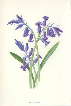 Hyacinth Reproduction Victorian Wild by MarcadeVintagePrints