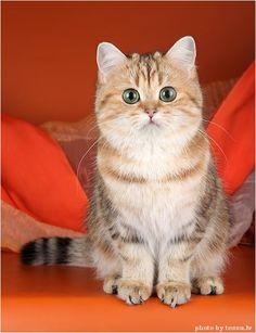 Wonderful british shorthair cat named Chiara by Tessa Photography.