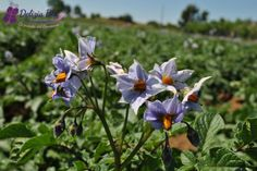 Terreni di patate DELIZIA BLU, Grotte di Castro (VT), in fiore. SPETTACOLARI e UNICI in tutta ITALIA!!!!