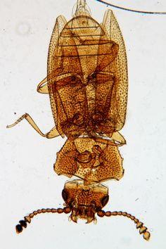"""Small Beetle"" Victorian Era Microscope Slide"