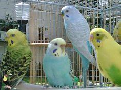 parakeets | Pet Birds / Parakeets / Budgerigar - Parakeets