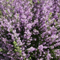 Prostanthera sieberi Prostanthera Minty™ is a dense shrub with aromatic foliage and mauve flowers from spring through summer. It is suitable for a full Australian Native Garden, Australian Plants, Native Gardens, Farm Gardens, Flowers Australia, Garden Express, African Plants, Clay Soil, Water Wise