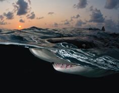 Can you imagine being this close to a Lemon Shark? Photographer Deano Cook got up close and personal offshore Grand Bahamas Island. (via Ocean Portal by The Smithsonian Institution)