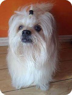 San Pedro, CA - Shih Tzu. Meet Lucky, a dog for adoption. http://www.adoptapet.com/pet/13349977-san-pedro-california-shih-tzu