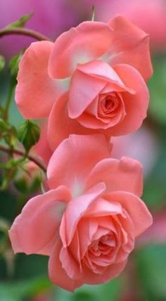 Pretty!♡♡♡My Queen Elizabeth, very fragrant pink roses are blooming in the backyard. Learned my lesson about tea roses, hybrids very delicate. I had 50 rose bushes. From now on it is shrub roses all the way, much hardier!♡♡♡