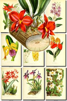 ORCHIDS-9 flowers Collection of 50 vintage images vegetable