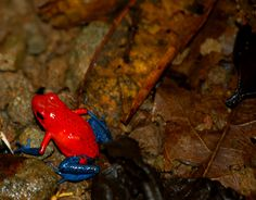 Blue Jean Frog....shot while taking the Hanging Bridges Tour near Arenal, Costa Rica
