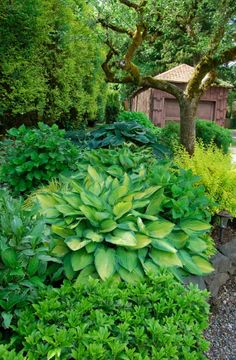 Divide plants to get more in your garden » I split my Hosta into 17 new Hostas this year and will be able to get at least another 17 next year!