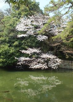 Cherry Blossoms in Ritsurin Garden