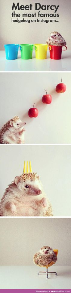 Tony Capstick Hedgehog Pie His Round Mr Darcy And Other - Darcy cutest hedgehog ever