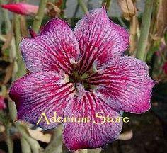 Adenium Obesum 'Muang Jumpa' x 5 Seeds