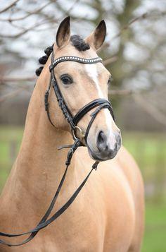 Stallions - Stallion Pony Dressage Jill Mieleszko