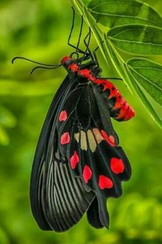black and red butterfly