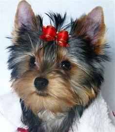 Emmy. Yorkie Puppy. www.tinylittlepuppies.com https://www.facebook.com/TinyLittlePuppies