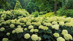 Mooie beige/geel kleurige hydrangea's/hortensia's