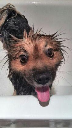 Algo divertido y complicado, bañar a mi perro... jajaja #dia7 #reto #15dias15fotos #pomerania