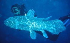 Coelacanth, thought to be extinct, very primitive bony fish, closely related to ancestors of tetrapods  Google Image Result for http://www.mnh.si.edu/highlight/coelacanth/images/image_2_lg.jpg