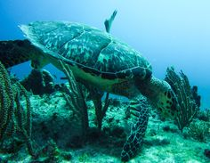 Hawksbill Hanging Out (Manchones Chico, Isla Mujeres, MX) [OC] Sea Photo, Hanging Out, Turtle, Oc, Internet, Animals, Beautiful, Turtles, Animales