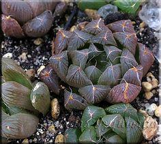 : Haworthia cooperi v. truncata f pilifera
