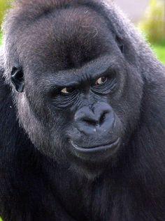 Gorilla looking to side Primates, Big Gorilla, Animals And Pets, Funny Animals, Gorilla Tattoo, Silverback Gorilla, Water For Elephants, Ape Monkey, Beast Creature