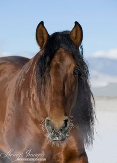 This is an Andalusian stallion in the snow in Colorado  www.LivingImagesCJW.com
