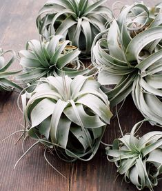 Big or small, Tillandsia Xerographica is just so good  We love our air plants.