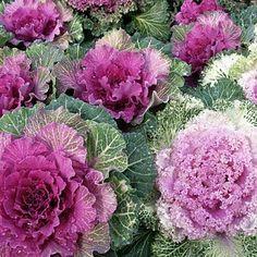 Ornamental kale - cold tolerant with leaves in lavender, rose and white, creates brilliant color to a winter garden