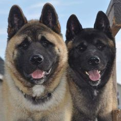 """""""In Love with American Akitas"""""""