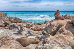 Wild Seals at Cape Palliser, New Zealand.