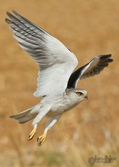 Taking flight, A small, falcon-like kite, the black-shouldered kite (Elanus axillaris) is named for the large jet-black marking that runs from its shoulders and across part of its wing