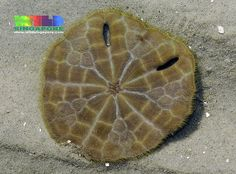 Keyhole sand dollar   (Echinodiscus truncatus)