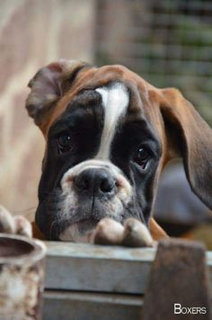 More About Boxer Dog Facts Truths Source by . The post Grey Boxer Puppy appeared first on Dogs and Diana. Boxer Dogs Facts, Dog Facts, Boxer And Baby, Boxer Love, Cute Puppies, Cute Dogs, Dogs And Puppies, Doggies, Animals Beautiful