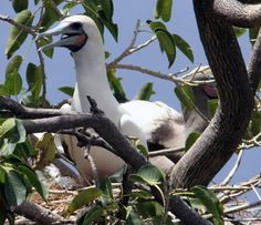 Sula sula / Piquero Patirrojo / Red-footed Booby / Fou à pieds rouges / Rotfußtölpel