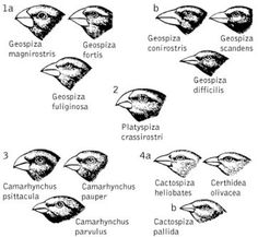 Darwinfinken - Kompaktlexikon der Biologie Science Illustration, Darwin, Evolution, Biology
