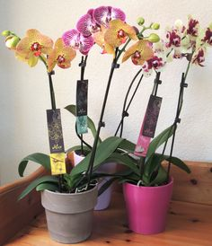 Alice Adventures Phalaenopsis Orchids - beautiful colours