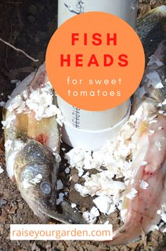 Using fish heads in an ancient recipe that grows sweet tomatoes Incredible Recipes, Great Recipes, Magnolia Bush, Kitchen Roll Holder, Ancient Recipes, Wooden Sunglasses, Recipes From Heaven, Cherry Tomatoes, Scotch