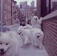 Samoyeds, we can hitch a ride. Maybe, samwe will just walk. We can geZt into… Animals And Pets, Baby Animals, Cute Animals, Puppies And Kitties, Cute Puppies, Doggies, American Eskimo Dog, Samoyed Dogs, Fluffy Dogs
