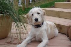 Image result for first generation labradoodle