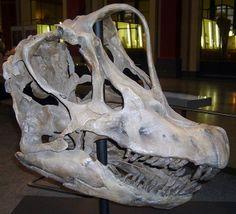 Giraffatitan skull