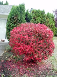 View picture of Burning Bush, Cork Bush, Winged Euonymus 'Compacta' (Euonymus alatus) at Dave's Garden. All pictures are contributed by our community.
