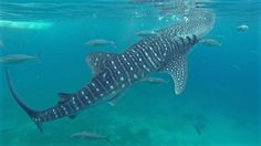 Swimming with Oslob whale sharks outside of Cebu City in the Philippines