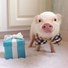 adorable pig wearing a bow tie