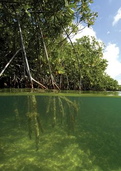 I have snorkeled in the mangroves near Belize. It was so peaceful and quiet and a spiritual experience!