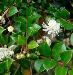 Kageneckia lanceolata durazno de campo en sierras de - Calibrachoa perenne ...